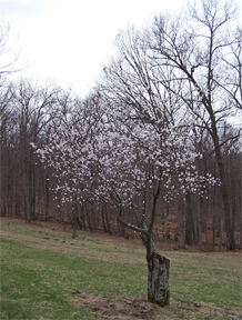 The 100+-year-old apricot tree at the T.C. Steele State Historic Site.