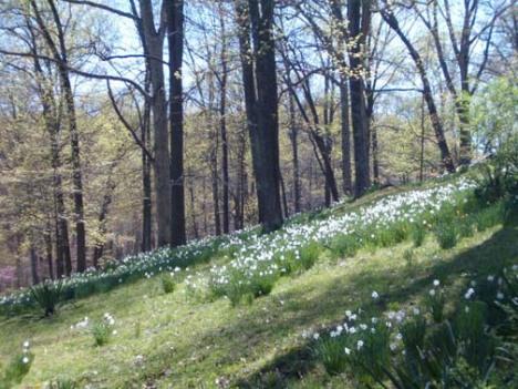 tc_steele_daffodils_01