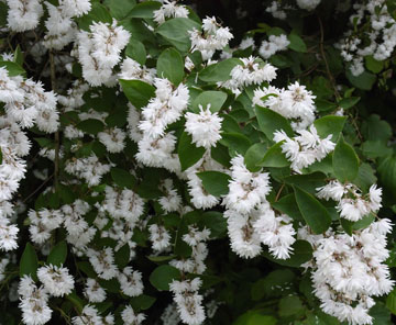 shrub_deutzia