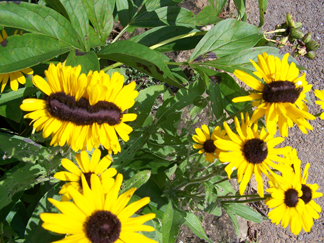 black-eyed_susans