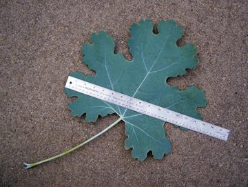 plume poppy leaf
